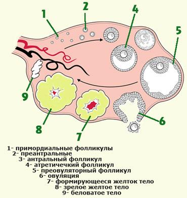 Как выглядит эмбрион в 2 недели